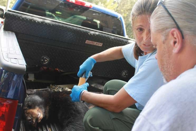 Wildlife authorities check a dead bear during Florida's bear hunt. Photo by Amy Green