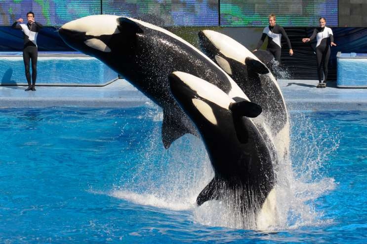 Last Killer Whale Born At SeaWorld
